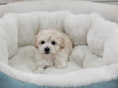 Maltipoo Puppy – Female- Monique ($1,299)