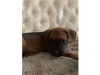 Adopt Scully a Boxer