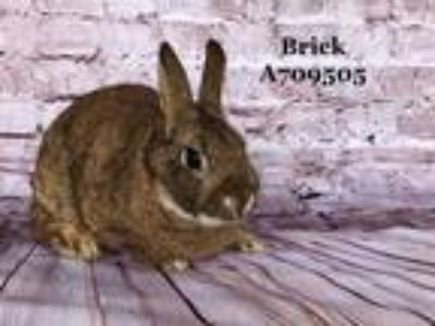 Adopt BRICK a Fawn Other/Unknown / Mixed rabbit in Camarillo, CA (25339251)