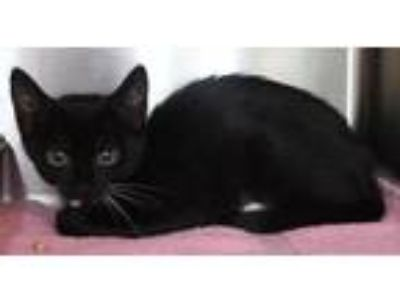 Adopt Yoshino a Black & White or Tuxedo Domestic Shorthair / Mixed (short coat)