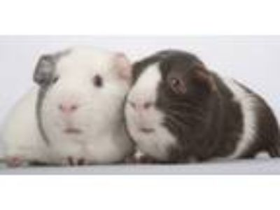 Adopt Spud and Tater Tot a White Guinea Pig (short coat) small animal in