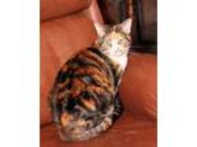 Adopt Callie a Calico, Domestic Short Hair