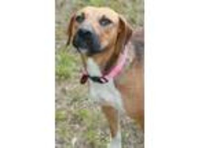 Adopt Rosie a Tricolor (Tan/Brown & Black & White) Beagle / Black and Tan