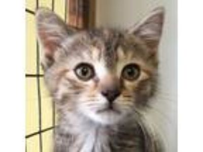 Adopt Granimal a Domestic Short Hair