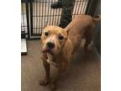 Adopt Martha a Tan/Yellow/Fawn American Pit Bull Terrier / Mixed dog in
