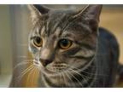 Adopt Pookie a Tabby, Domestic Short Hair