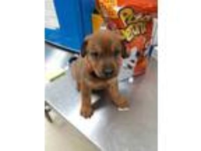 Adopt PUP 2 a Tan/Yellow/Fawn Labrador Retriever / Mixed dog in Mesquite