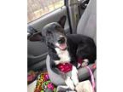 Adopt Callie a Black - with White Border Collie / Terrier (Unknown Type