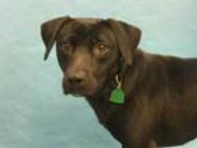 Adopt Sadie a Black Labrador Retriever / Mixed dog in St. Paul, MN (25548085)