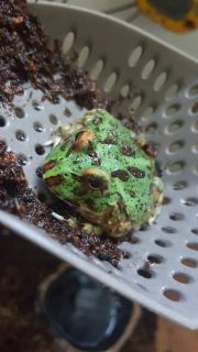 Sub-Adult Pacman Frog