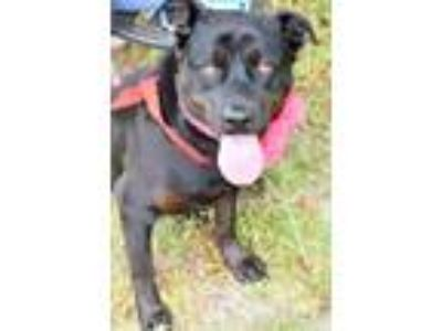 Adopt Carly a Black - with Brown, Red, Golden, Orange or Chestnut Rottweiler /