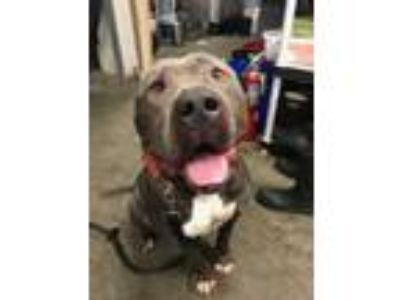 Adopt Ares a Pit Bull Terrier
