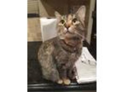 Adopt United a Tortoiseshell Domestic Shorthair (short coat) cat in Naperville