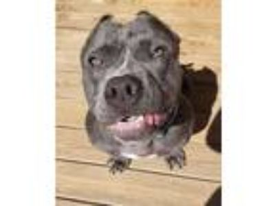 Adopt Ozzie a Pit Bull Terrier