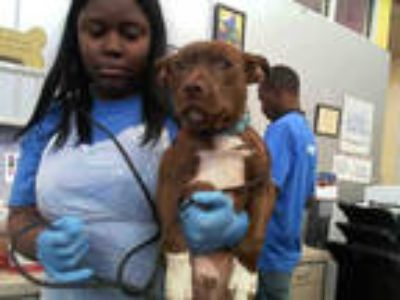 Adopt TUCKER a Brown/Chocolate - with White Labrador Retriever / Mixed dog in