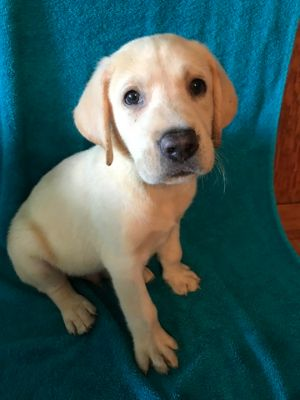 Labrador Retriever PUPPY FOR SALE ADN-82887 - Yellow cream and black labs