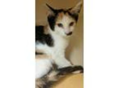 Adopt PATCHES a Domestic Short Hair, Calico