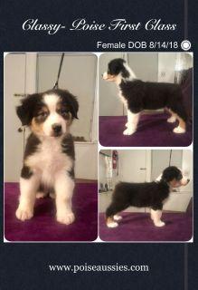 Shiver x Zee Australian Shepherd Puppies