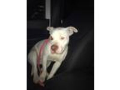 Adopt Willow a White American Pit Bull Terrier / Mixed dog in Fairfield