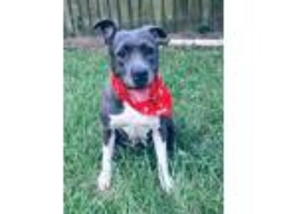 Adopt Camila, Super Sweet & Mellow! a Pit Bull Terrier, American Staffordshire