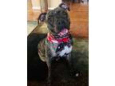 Adopt Phoenix a Boxer / Terrier (Unknown Type, Medium) / Mixed dog in Potomac