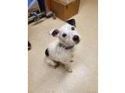 Adopt Jack a White Jack Russell Terrier / Mixed dog in Eugene, OR (25576413)