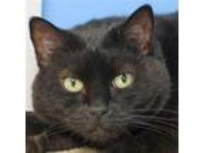 Adopt Xena a All Black Domestic Shorthair / Mixed (short coat) cat in Norwalk