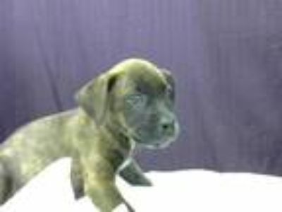 Adopt NEVA a Brindle - with White Patterdale Terrier (Fell Terrier) / Mixed dog