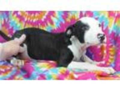 Adopt Finleigh a White American Pit Bull Terrier / Mixed dog in Morton Grove