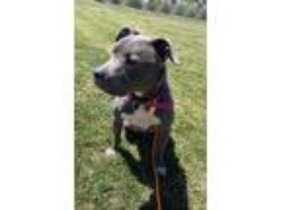 Adopt CHASTO a Gray/Blue/Silver/Salt & Pepper American Pit Bull Terrier / Mixed