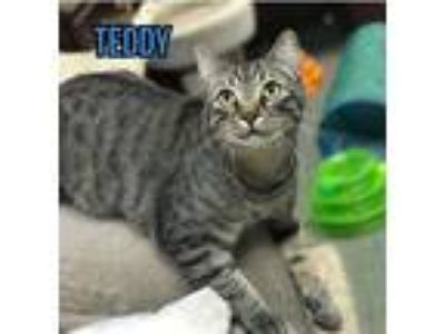 Adopt Teddy a Gray, Blue or Silver Tabby Domestic Shorthair / Mixed cat in