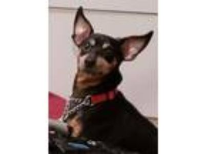 Adopt Chino a Miniature Pinscher, Mixed Breed