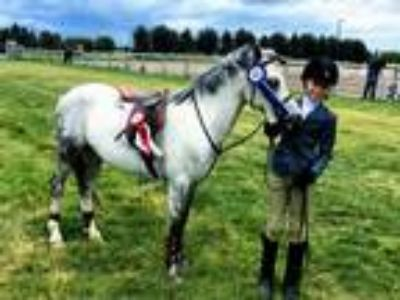 Wonderful HunterJumper Pony