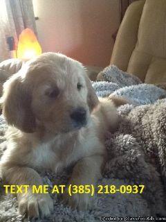 Viokb Golden retriever puppies for sale