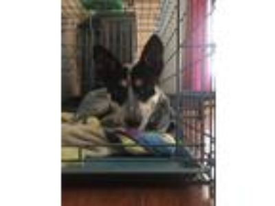Adopt Kizzy a Australian Cattle Dog / Blue Heeler