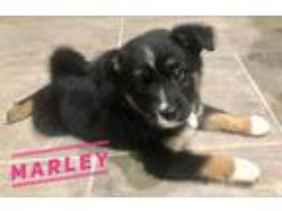 Adopt Marley a Black - with Tan, Yellow or Fawn Border Collie / Husky / Mixed