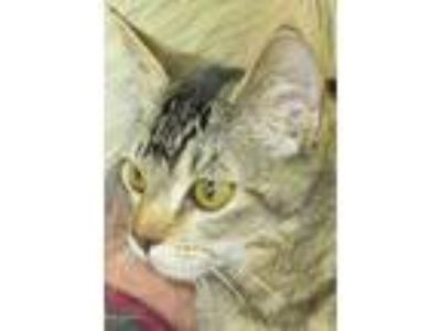 Adopt Longtail a Tan or Fawn Tabby Domestic Shorthair (short coat) cat in Buhl