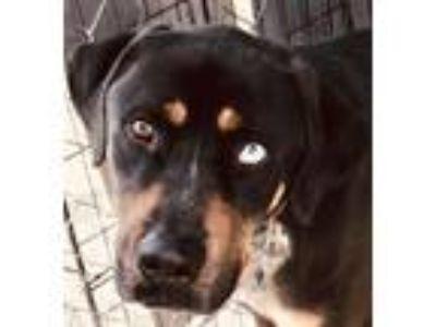 Adopt Bluto a Rottweiler, Bluetick Coonhound