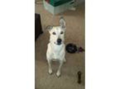 Adopt Tucker a Tan/Yellow/Fawn German Shepherd Dog / Labrador Retriever / Mixed