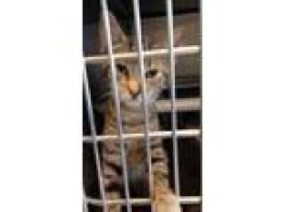 Adopt Alex a Gray or Blue Domestic Shorthair / Domestic Shorthair / Mixed cat in