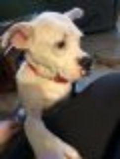 Kirby Boxer - Pit Bull Terrier Dog
