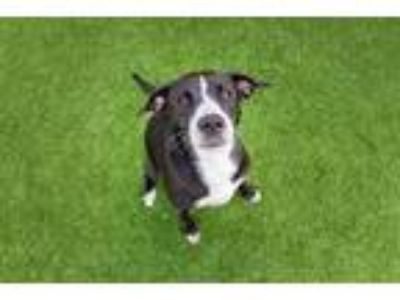 Adopt Molly a Labrador Retriever, Border Collie