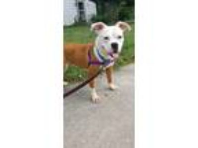 Adopt Angel a Pug / Pit Bull Terrier / Mixed dog in Sheboygan, WI (25911170)