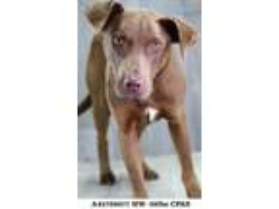 Adopt Caleb a Brown/Chocolate Retriever (Unknown Type) / Mixed dog in