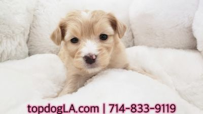 Poodle (Standard)-Maltese Mix PUPPY FOR SALE ADN-71161 - Maltipoo Male Tanner