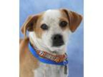 Adopt Adele a Tan/Yellow/Fawn - with White Beagle / Pug / Mixed dog in