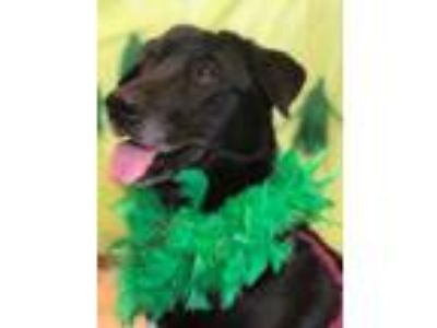 Adopt Violet a Black Labrador Retriever / Mixed dog in Aberdeen, SD (22456270)