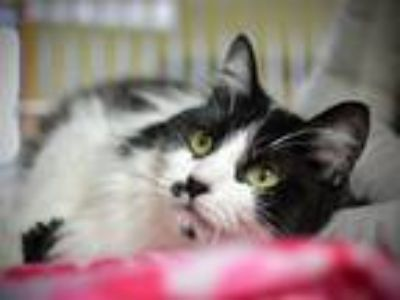 Adopt Dante a Domestic Longhair / Mixed cat in Portland, OR (25293861)