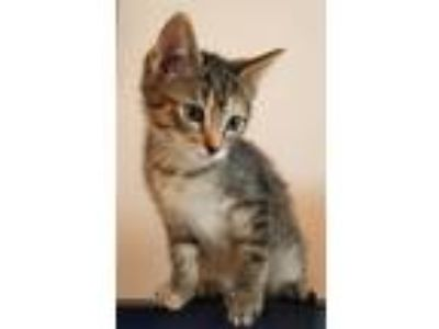Adopt Heidi K1 Aka Cat Benetar a Domestic Shorthair / Mixed cat in Sherwood