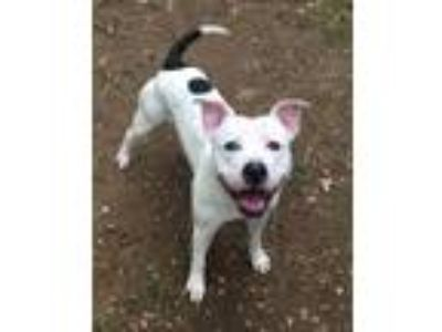 Adopt 385 a White - with Black Pit Bull Terrier / Mixed dog in Bloomfield